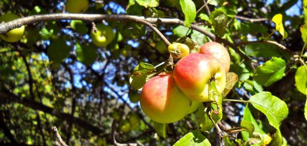 كيف يزرع التفاح