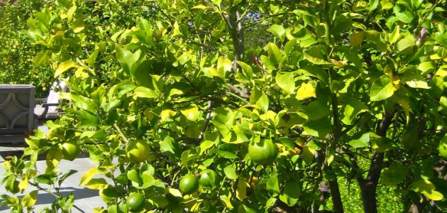 كيفية زراعة اشجار الليمون