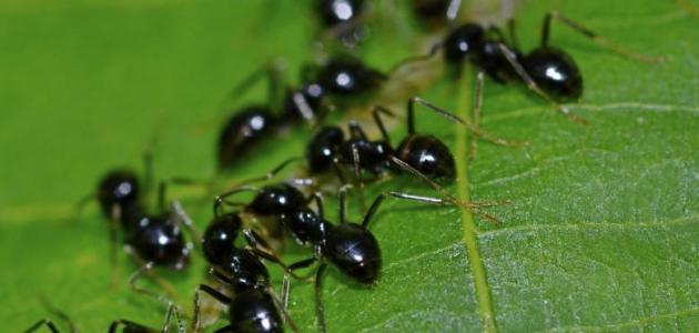 كيف أقضي على النمل