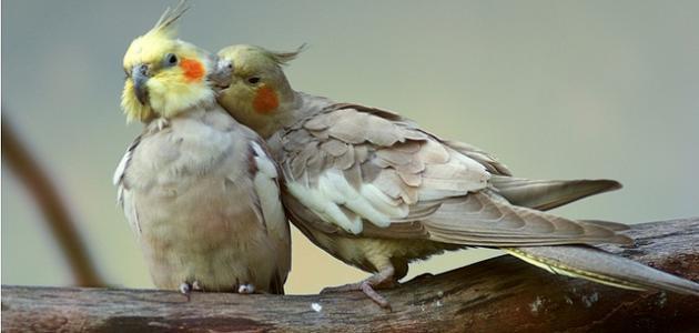 كيف تعتني بطيور الحب