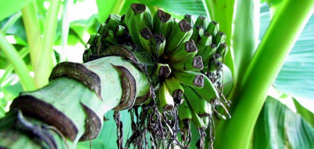 كيف تتم زراعة الموز