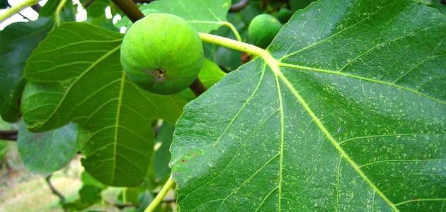 كيف تزرع شجرة التين