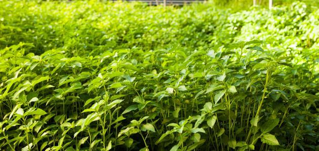 كيفية زراعة الملوخية