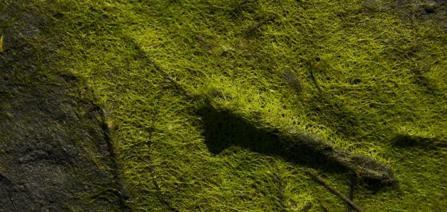 ما أهمية الطحالب للإنسان