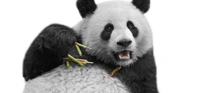 تعريف حيوان الباندا