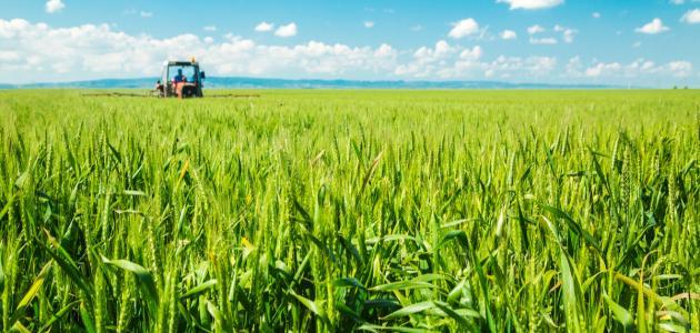 كيفية زراعة القمح - موضوع
