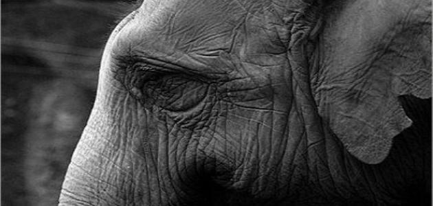 الفيل الحزين