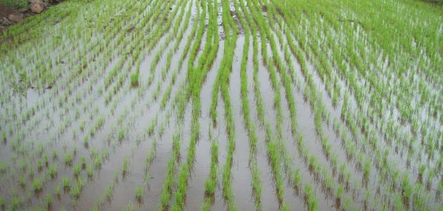 كيفية زراعة الأرز