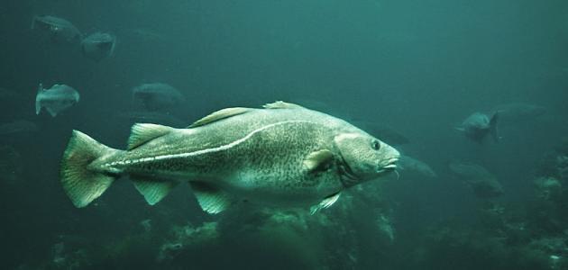 نتيجة بحث الصور عن سمك القد