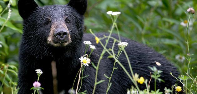 ماذا يسمى صغير الدب