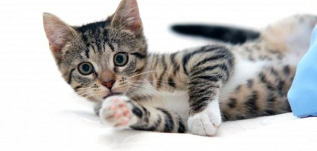 ما هي جرثومة القطط