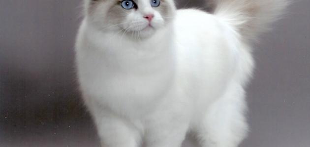 انواع القطط الشيرازي