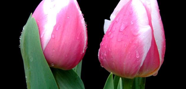 أجمل الورود