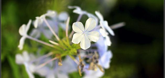 ما هي زهرة البيلسان
