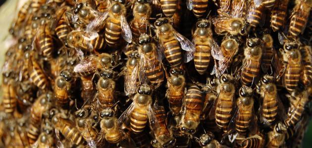ماذا يطلق على جماعة النحل