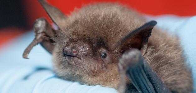 ماذا يغطي جسم الخفاش
