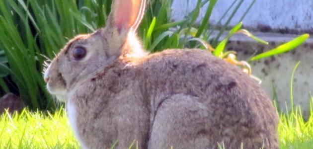 ماذا يغطي جسم الأرنب
