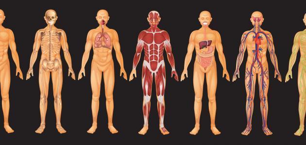 ما هي أجزاء جسم الإنسان