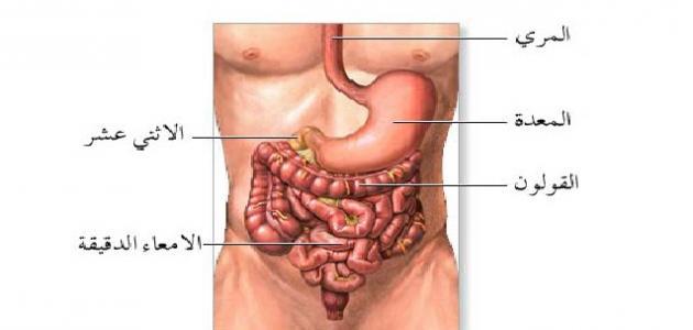 أين تقع المعدة في جسم الإنسان