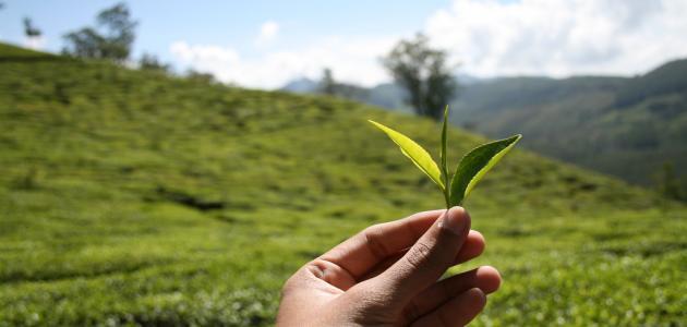 من مكتشف الشاي