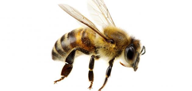ما هو علاج لسعة النحلة