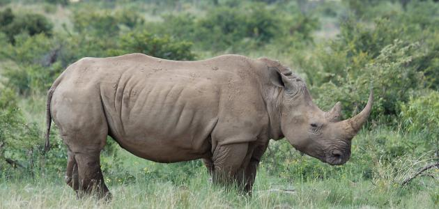 إليكم معلومات وحيد القرن