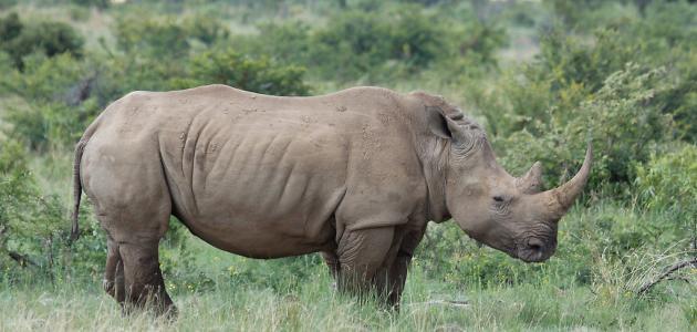 Image result for يوجد قرن على أنف وحيد القرن