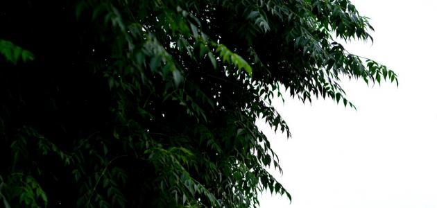 ما هي شجرة النيم