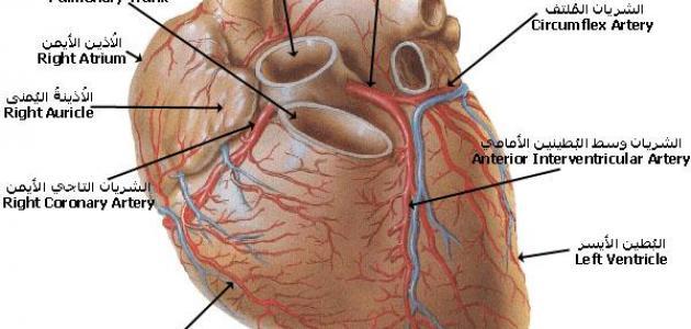 ما هو عدد صمامات القلب