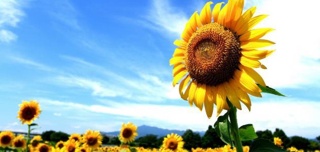 ما هي أضرار بزر دوار الشمس