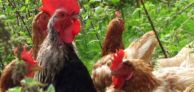 كيف يتكاثر الدجاج