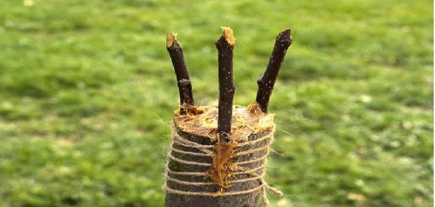 طريقة تطعيم الأشجار