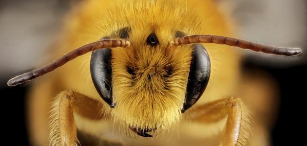 فوائد سم النحل