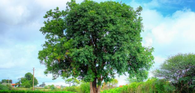 اهم المعلومات عن شجرة النيم %D9%81%D9%88%D8%A7%D8%A6%D8%AF_%D8%B4%D8%AC%D8%B1%D8%A9_%D8%A7%D9%84%D9%86%D9%8A%D9%85