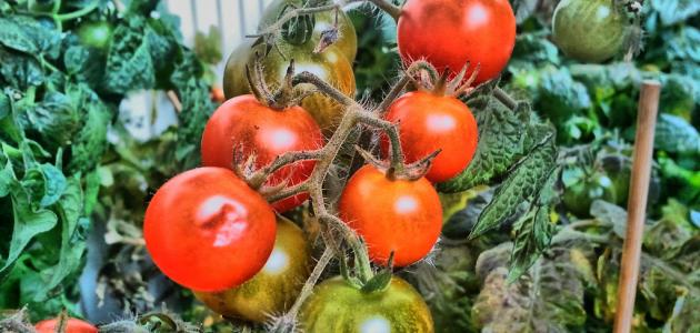طريقة زراعة الطماطم - موضوع