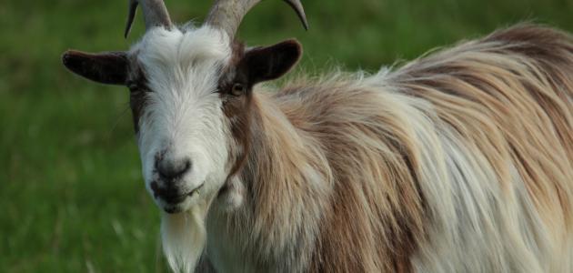 فوائد لبن الماعز