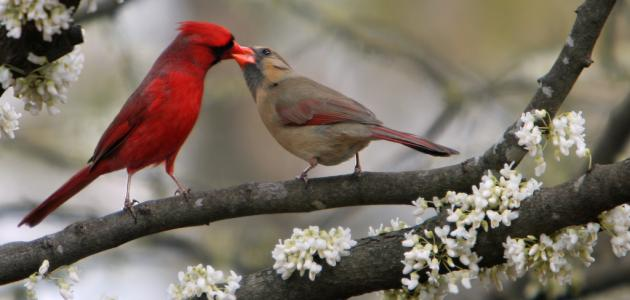 ماذا يأكل طائر الحب