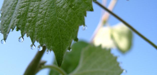 طريقة حفظ ورق العنب