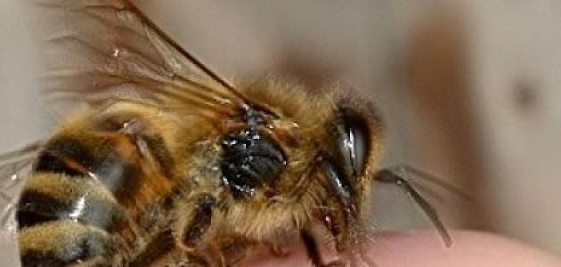فوائد قرص النحل