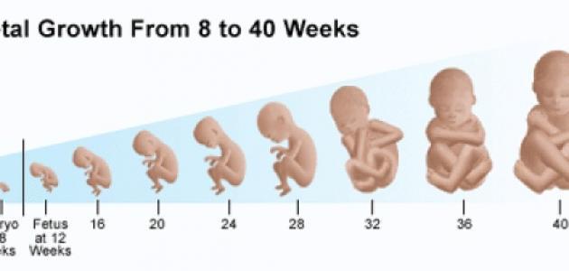 مراحل تطور الجنين بالأسابيع
