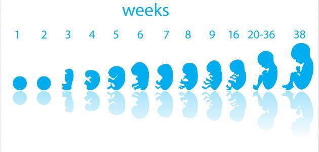 مراحل نمو الجنين بالأشهر