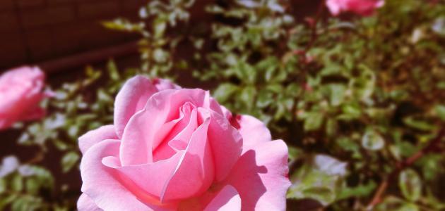 طريقة زراعة الورد