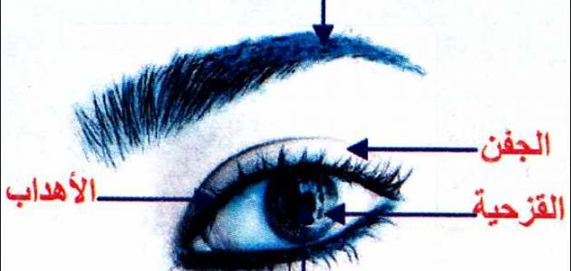 ما هو هدب العين