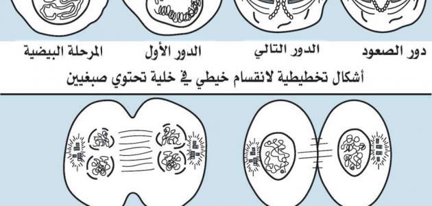 مراحل انقسام الخلية