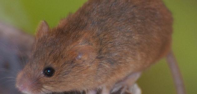 طريقة القضاء على الفئران