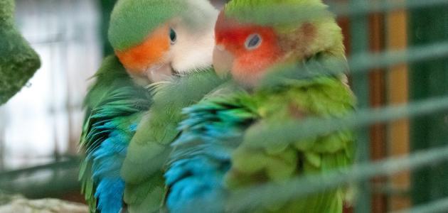 طريقة تربية طيور الحب