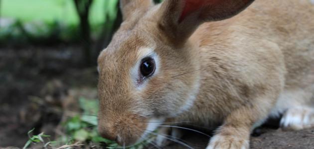 مراحل نمو الأرنب