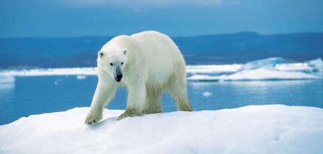 الدب القطبي طھظƒظٹ%D