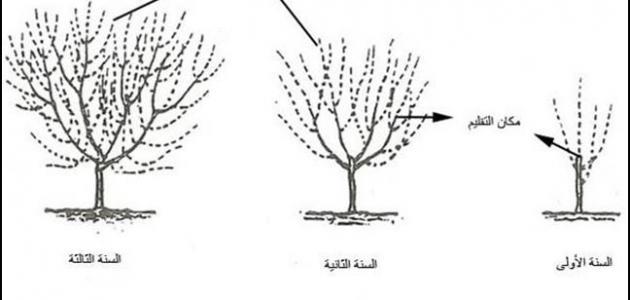 مراحل نمو الشجرة