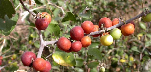 فوائد ثمرة السدر
